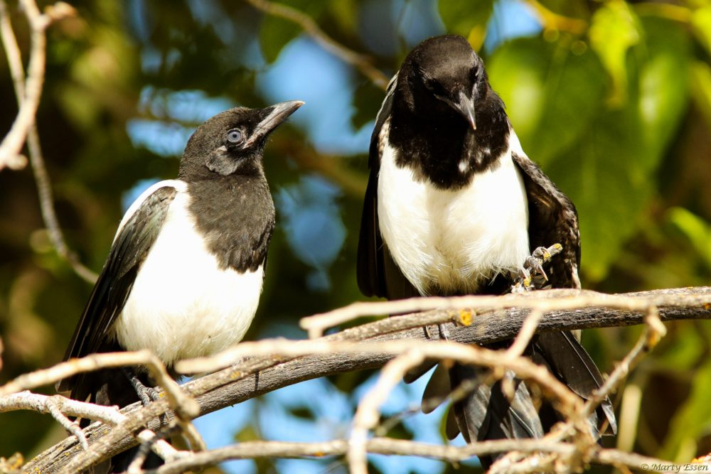 Husband and wife magpies