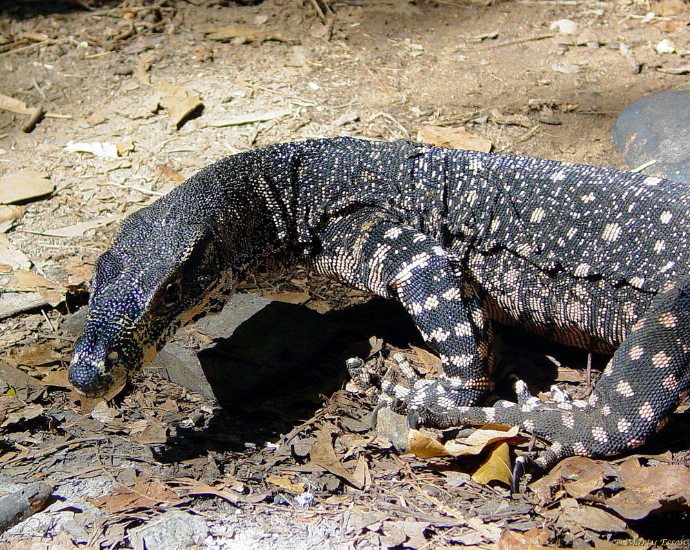 The venomous lace monitor