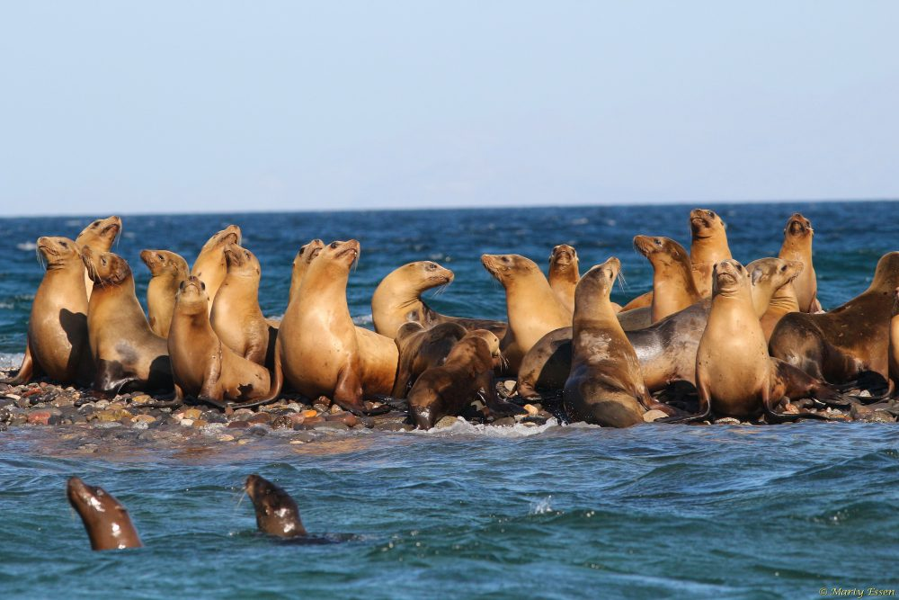 The sea lions can't wait!