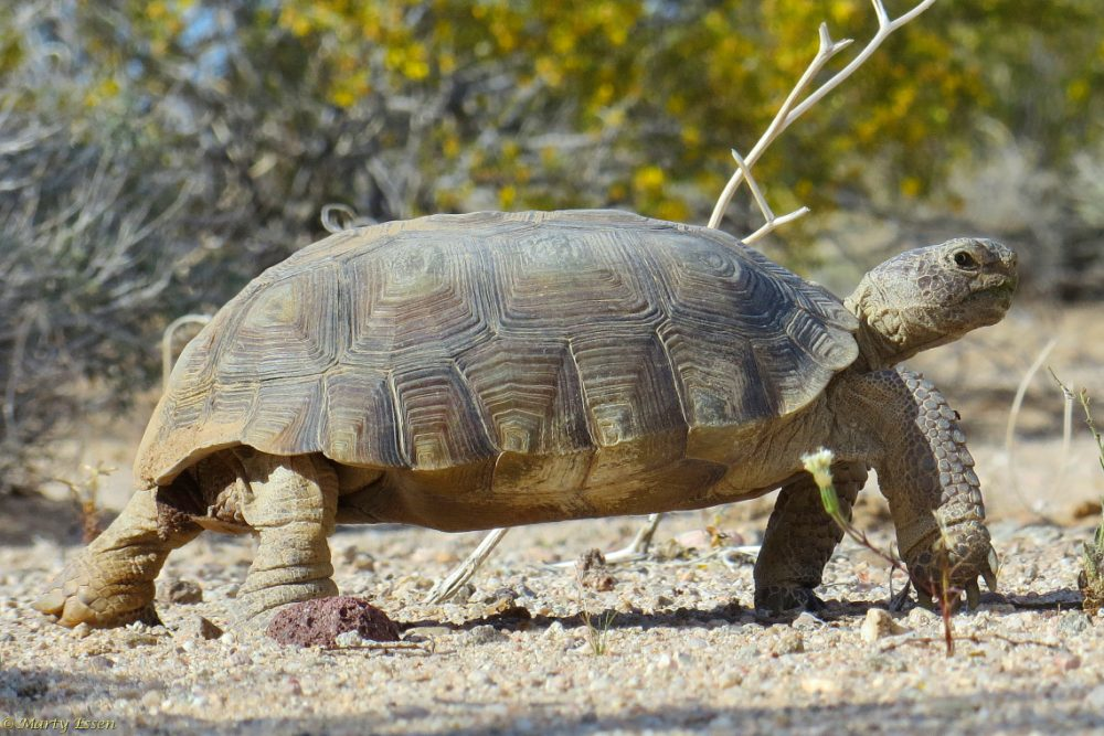 The desert tortoise comes through