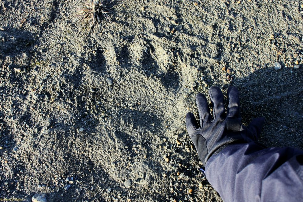 Polar bear track vs. woman's hand