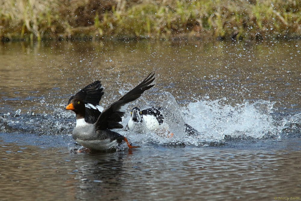 Goldeneyes: The battle for Trout Lake