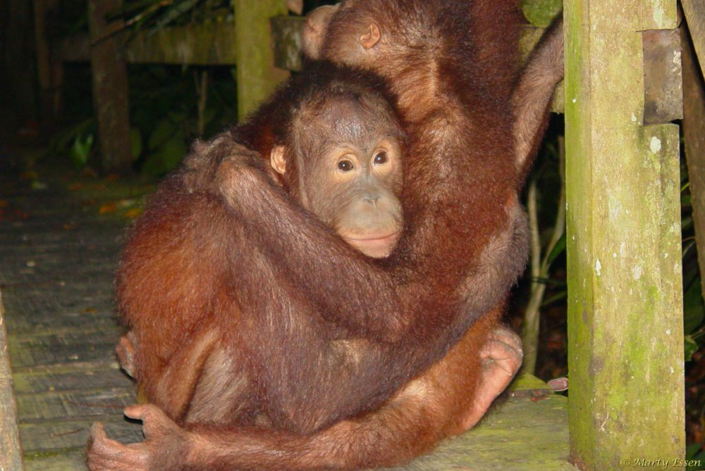 Bedtime for baby orangutans