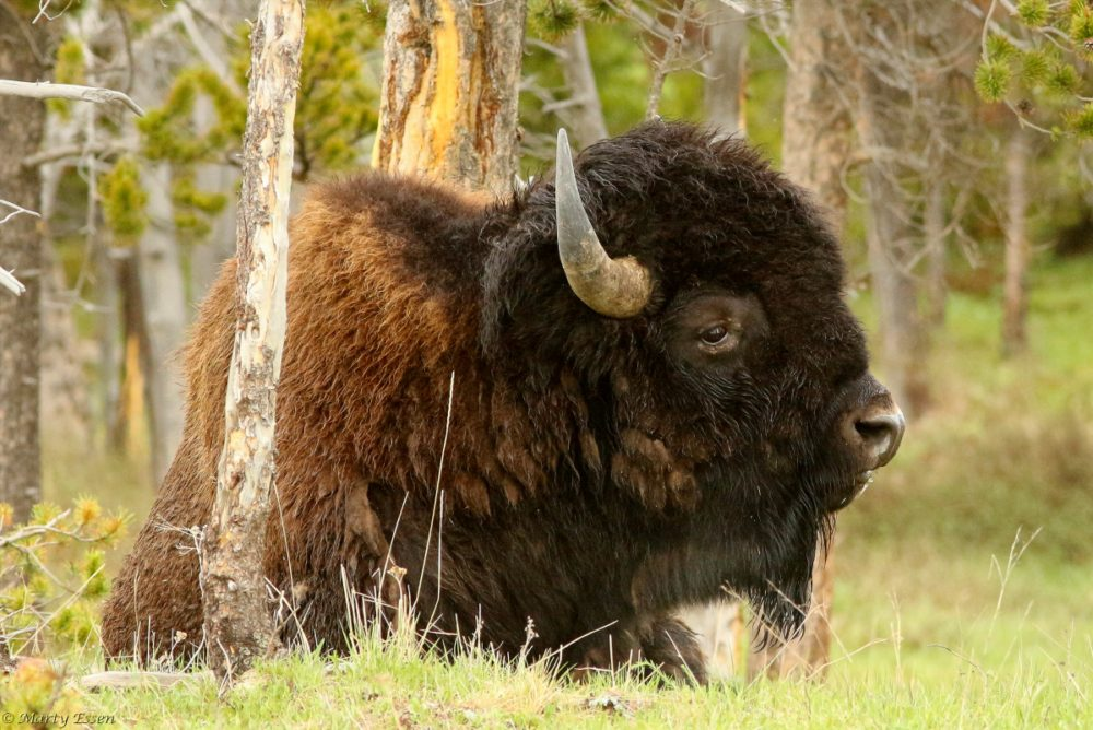 Big Boy Bison