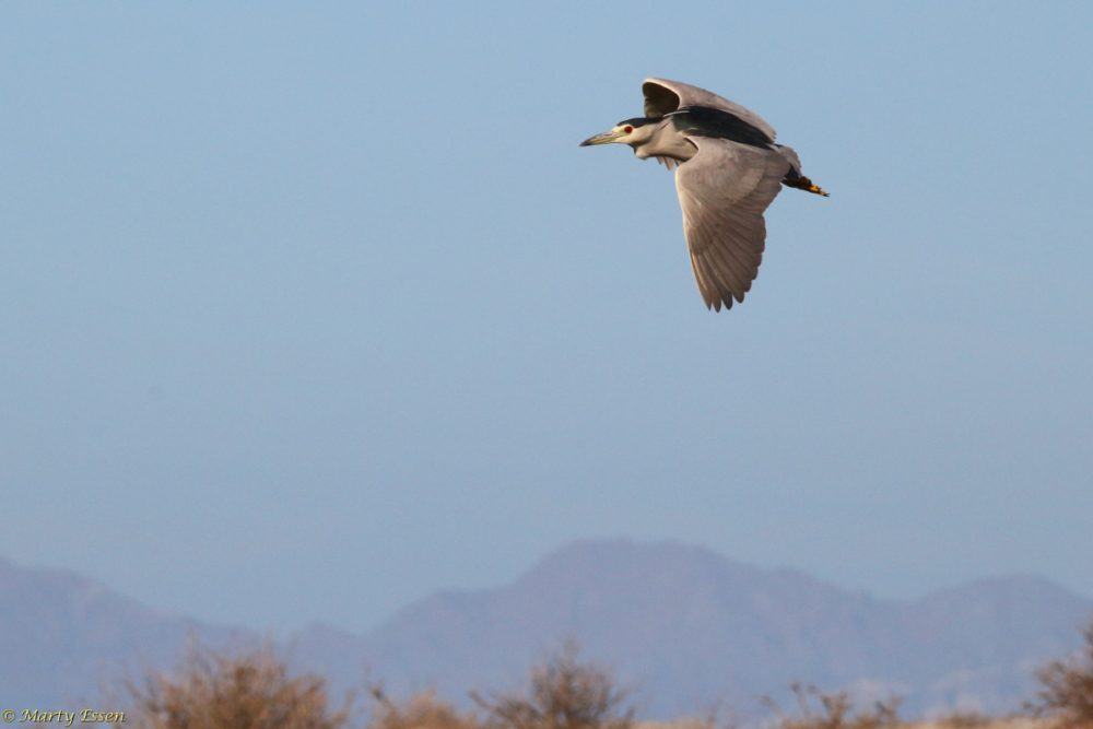 Night heron in flight