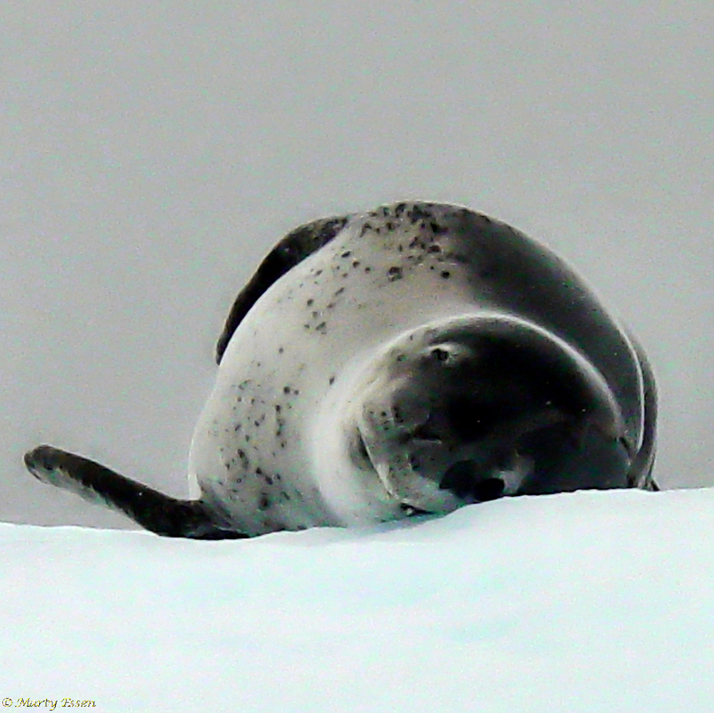 A leopard seal on a foggy day
