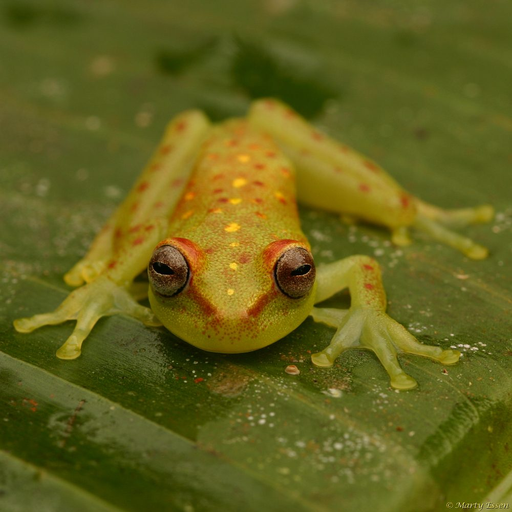Polka-dot tree frog