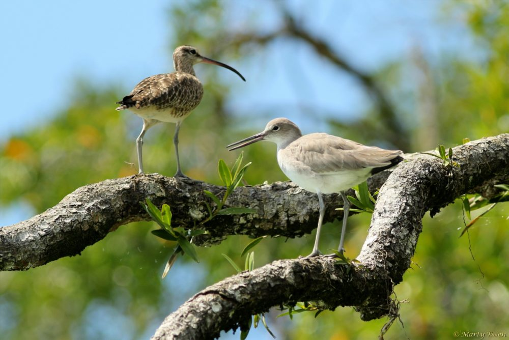 Whimbrel vs. willet