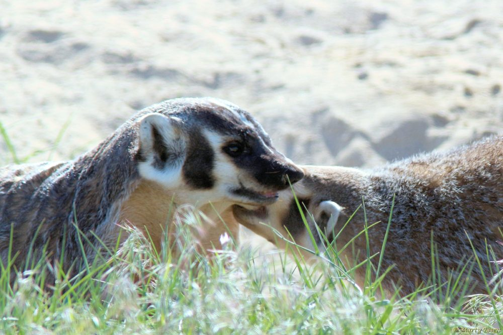 Playful badgers