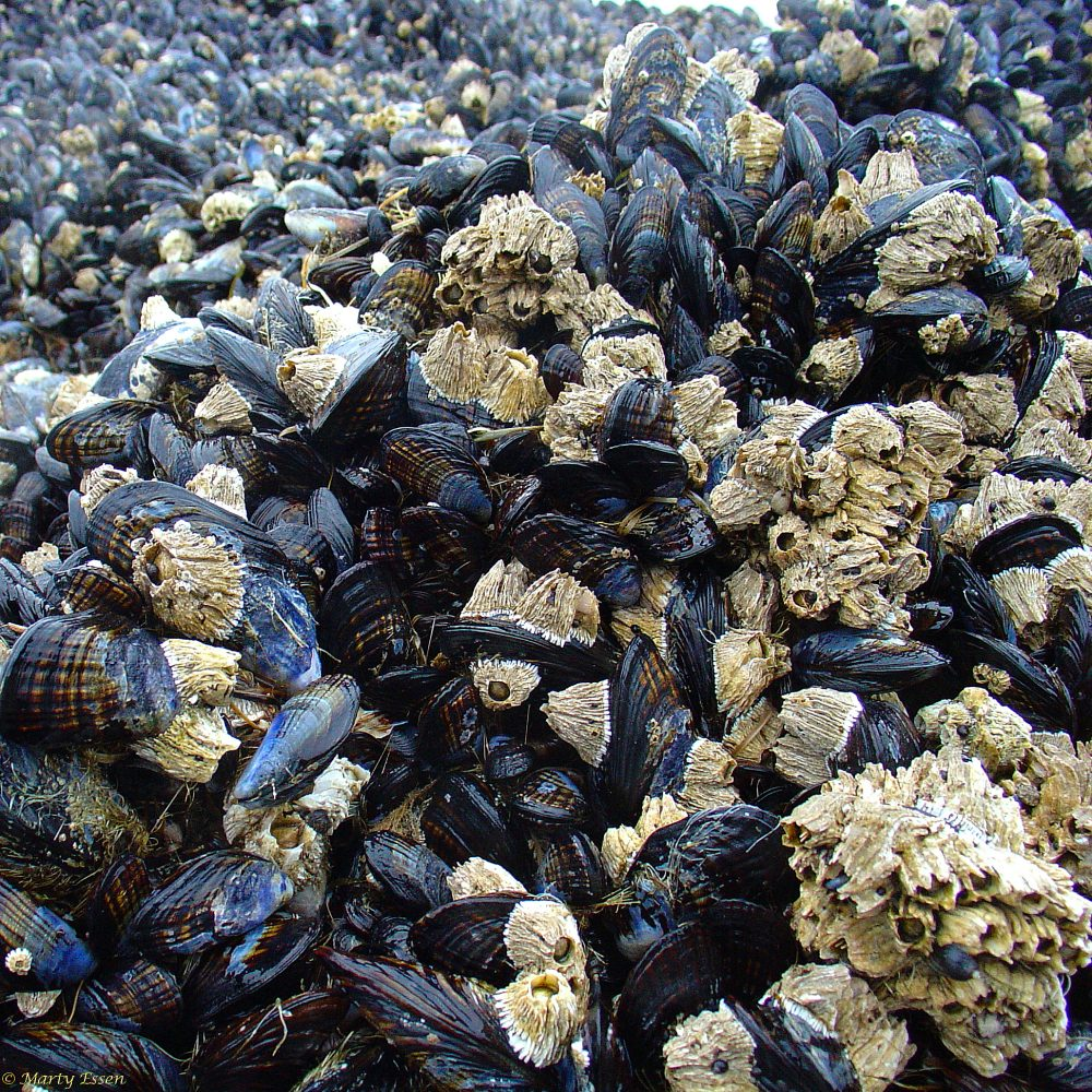 Oregon clams