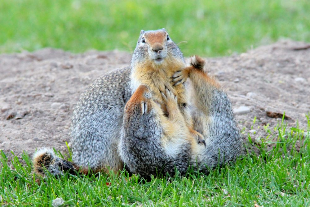 Ground squirrel fun