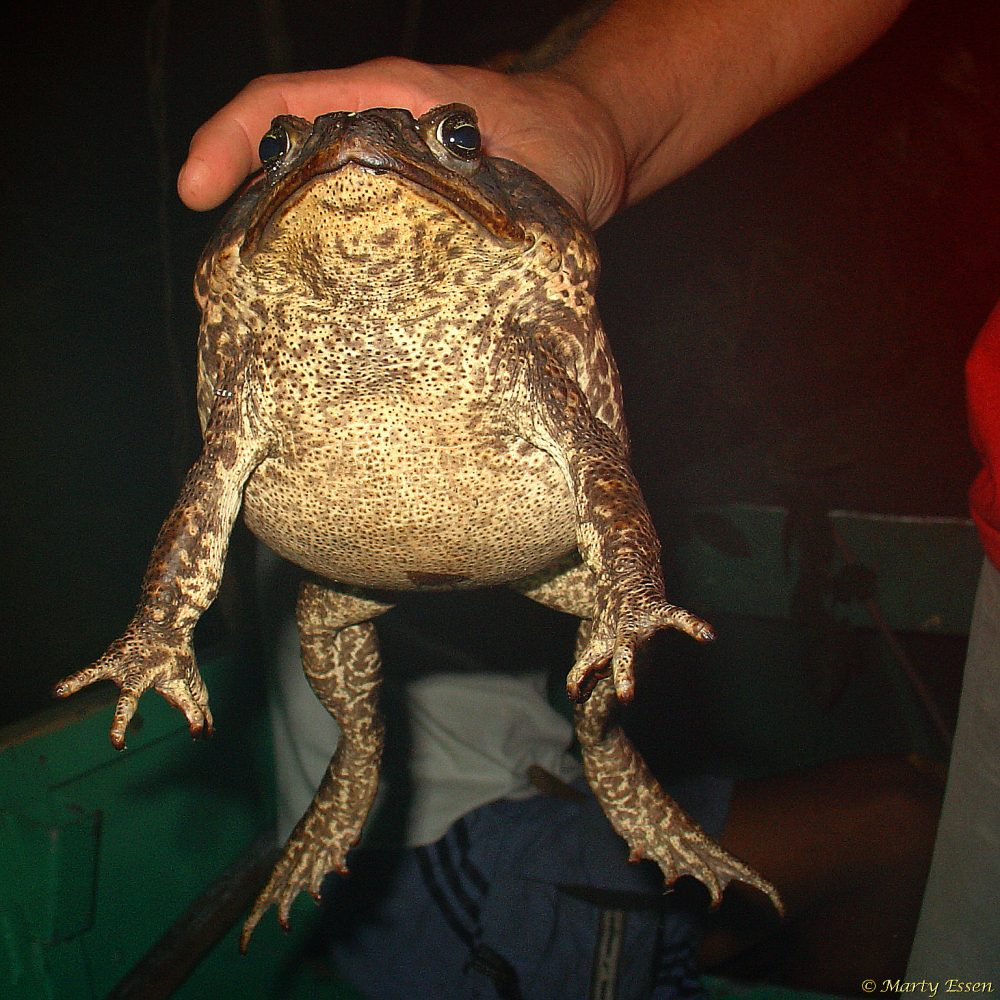 A marine toad named Barr