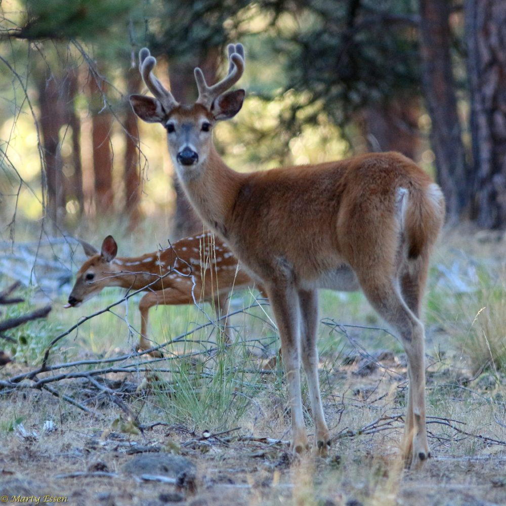 Buck fawns over the fawn