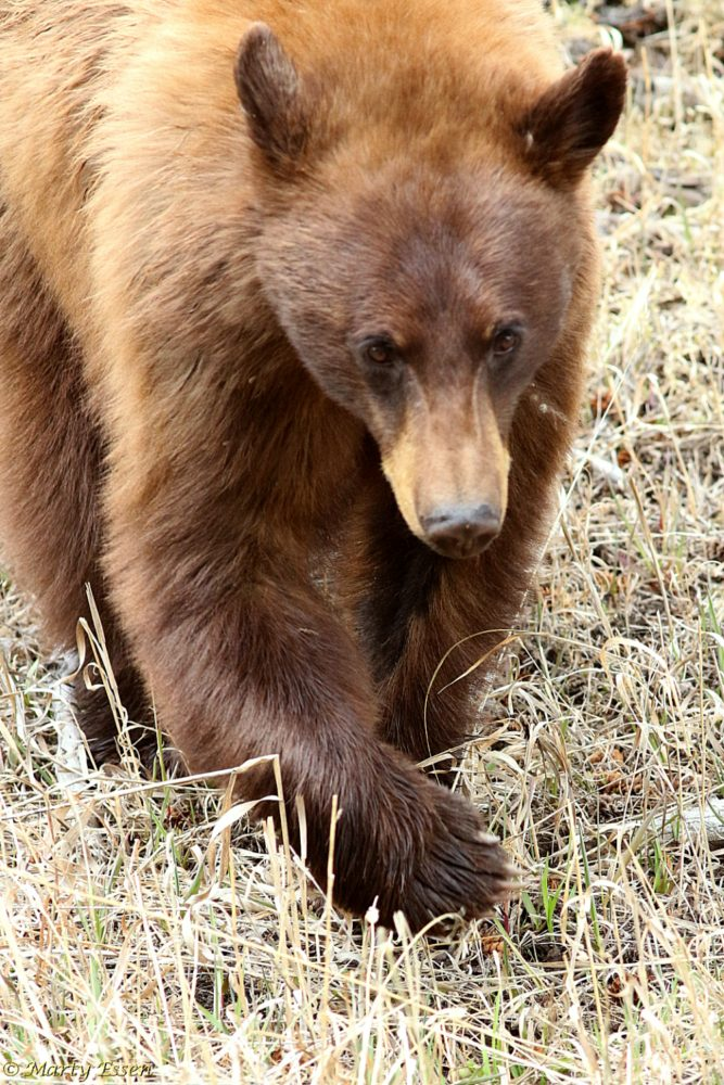 "The ""brown"" black bear"
