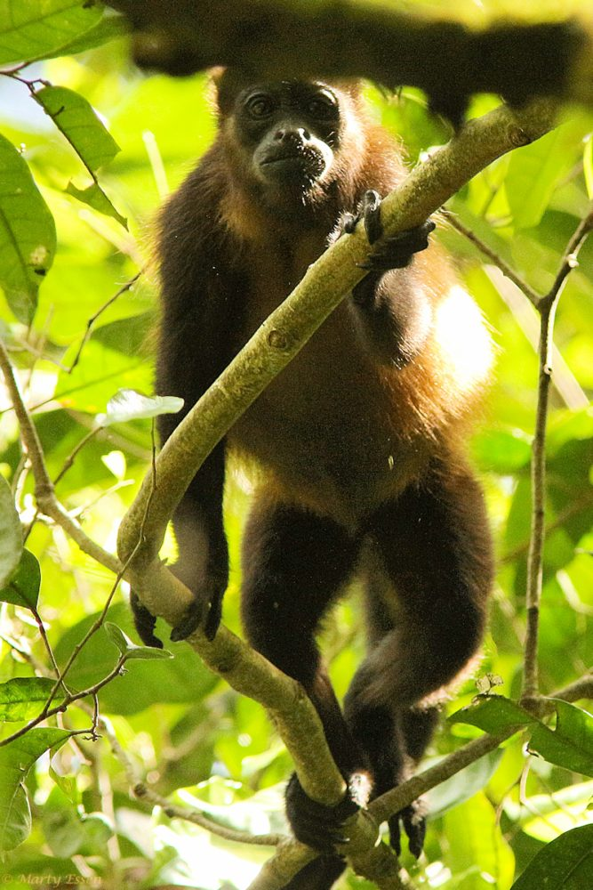 Howler monkey stare down