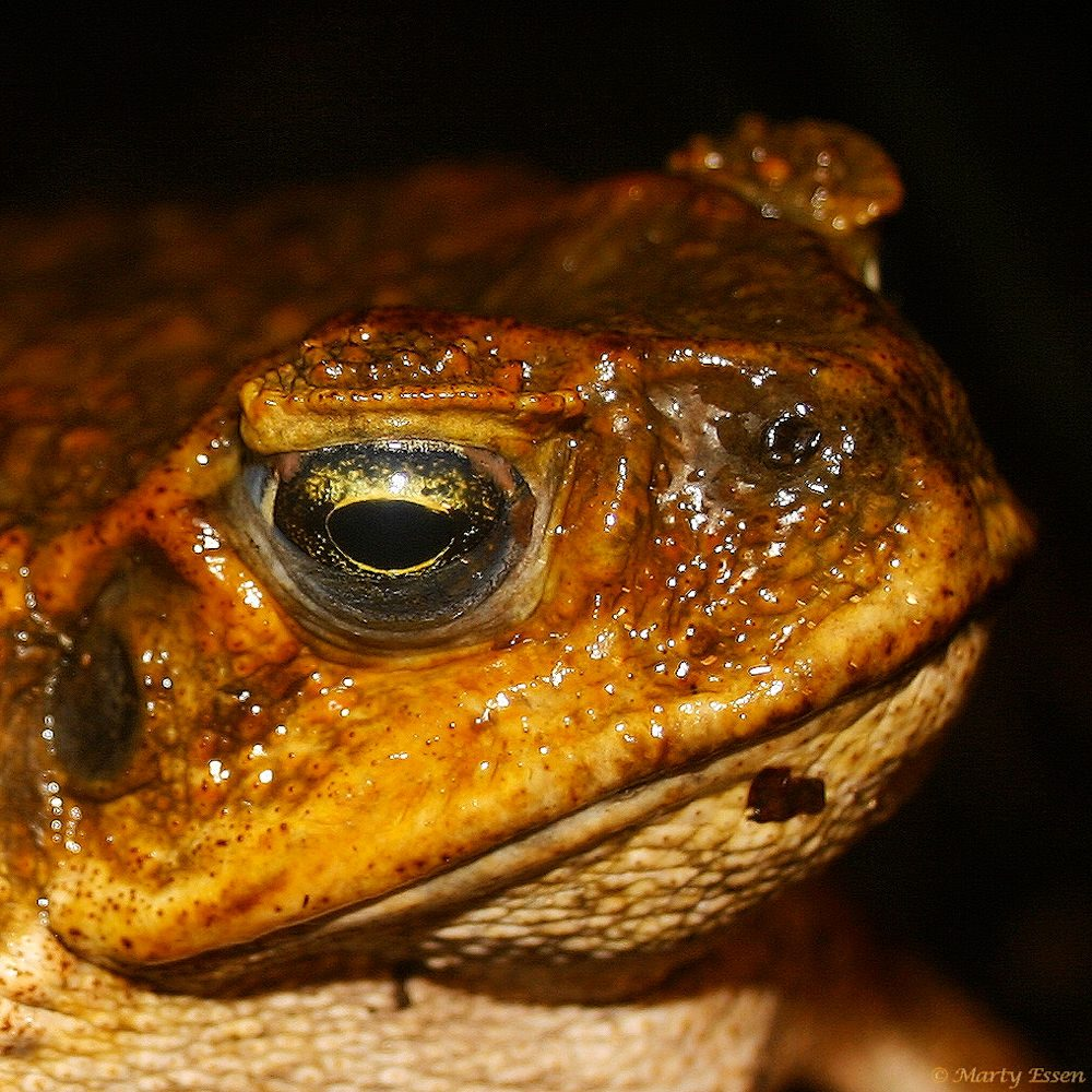 World's largest toad species