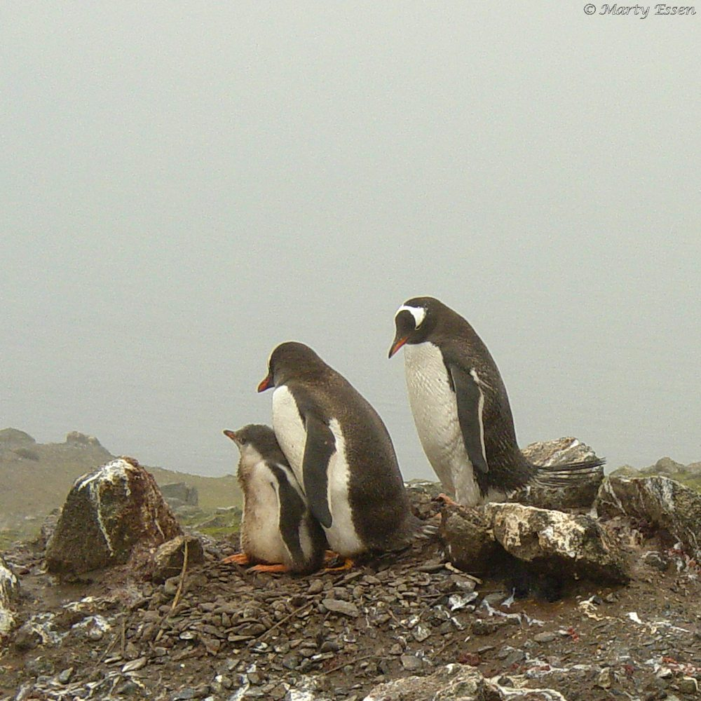 Gentoo penguin family