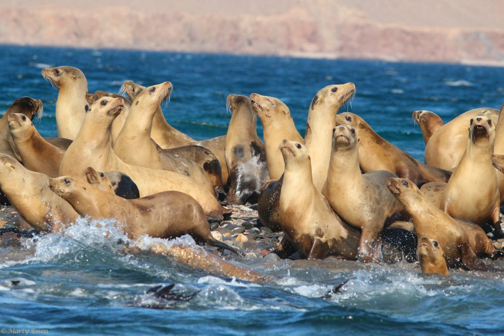 Sea lions don't socially distance!