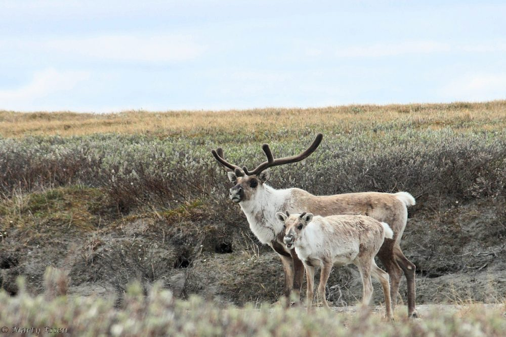 Caribou, not oil wells