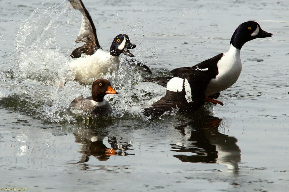 Ducks and social distancing