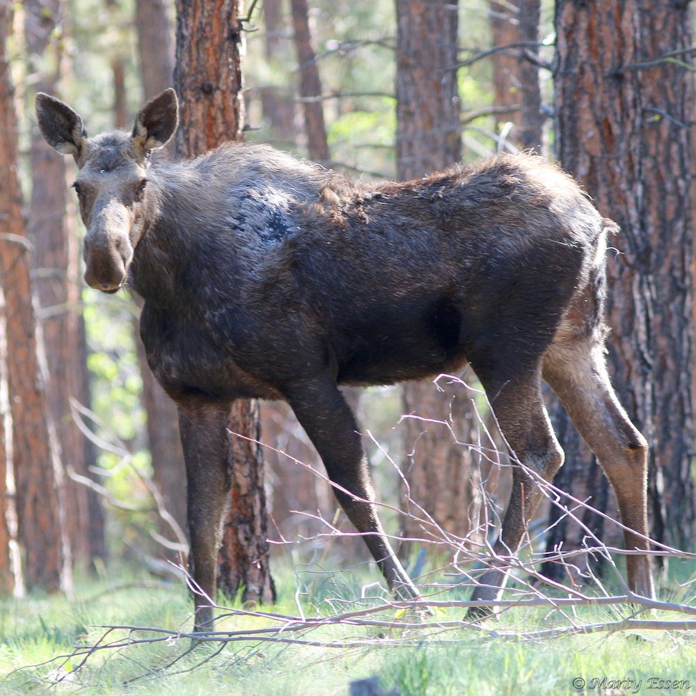The spring moose