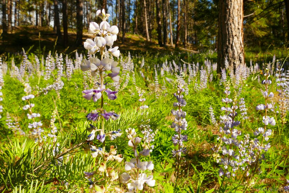 Blue lupines everywhere
