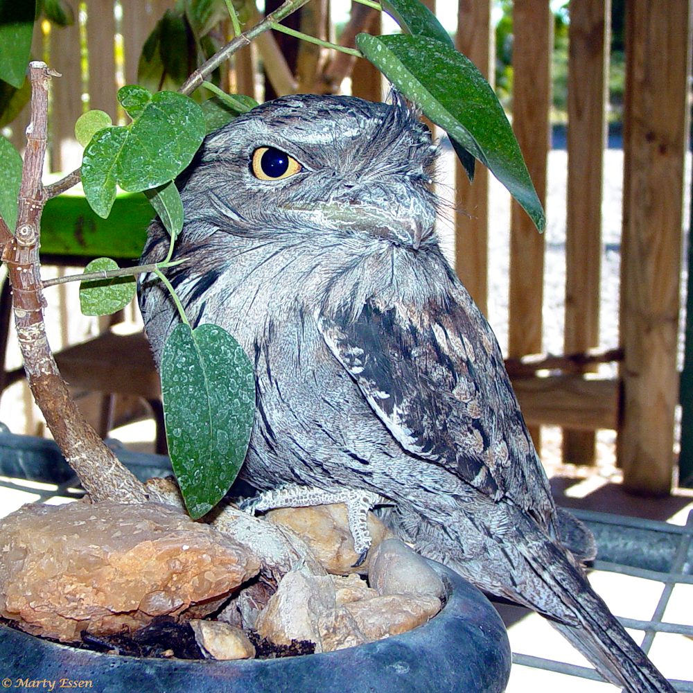 Frog the frogmouth bird