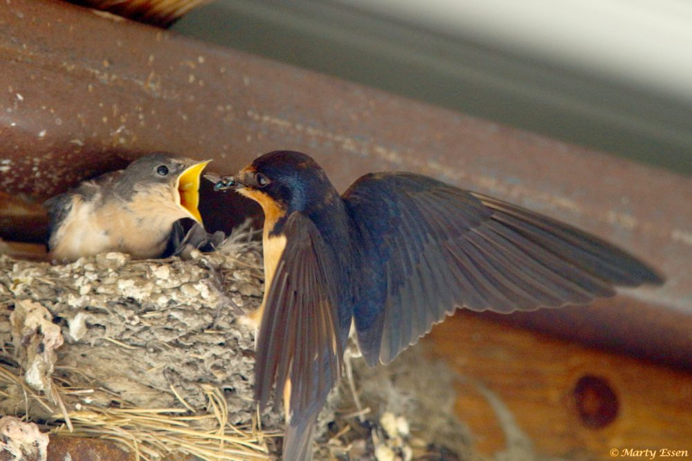 Swallows on the American Prairie Reserve