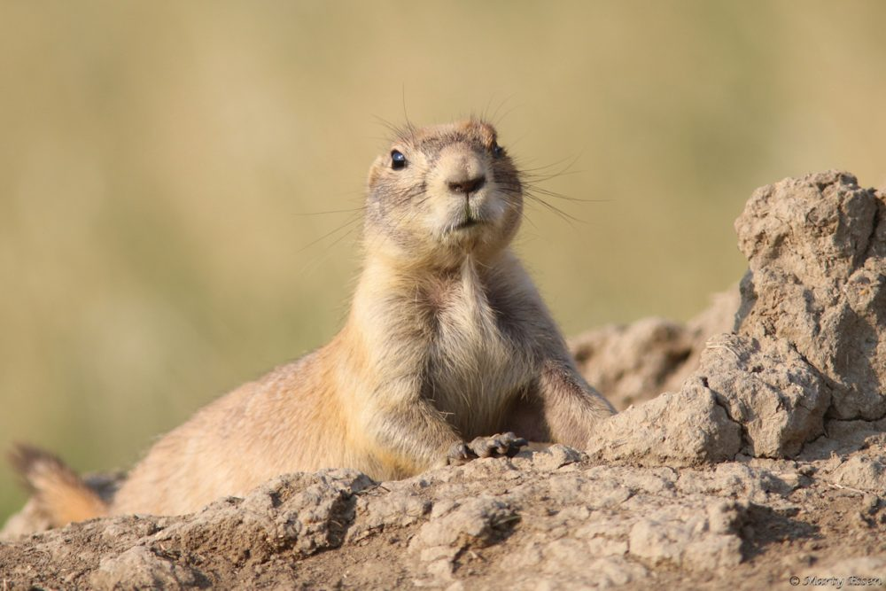 Prairie dogs on the APR